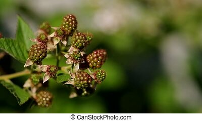 Unripe blackberries in the summer in the wind