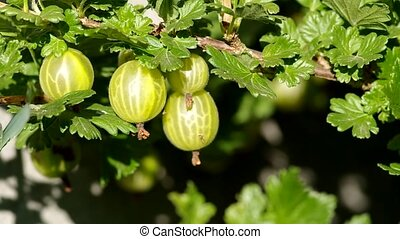 Gooseberries on the bush - Gooseberry bush in the garden in...