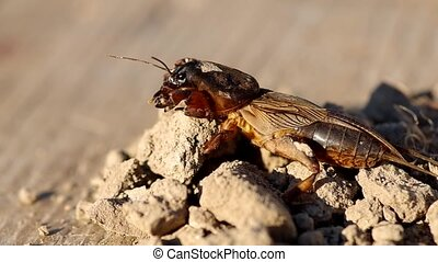 Mole Cricket, Gryllotalpa gryllotalpa on soil
