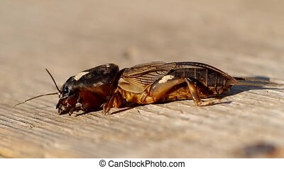 Mole Cricket, Gryllotalpa gryllotalpa on wooden table
