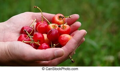 Red cherries in the hands - Cherries in the hands of women