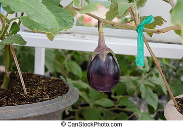Egg plant - A big egg plant growing in the garden