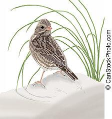 Ipswich Sparrow - Passerculus sandwichensis princeps