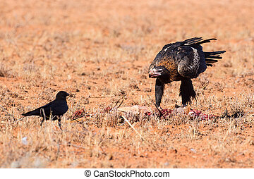 Australian Wedge-tail Eagle Eating a Kangaroo - An...