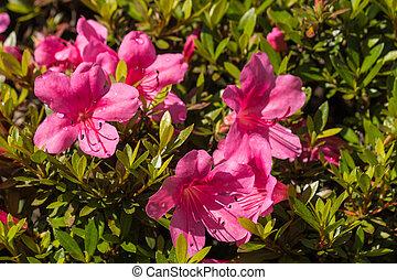 pink azalea flowers - close up of pink azalea flowers in...