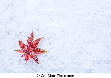 Leaf on a snow - Red maple leaf acer palmatum on a snow in...