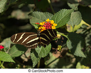 Zebra longwing, Heliconius charitonius, butterfly is also...