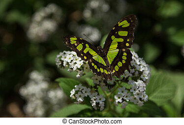 Malachite butterfly, Siproeta stelenes, in spring on...