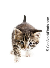 kitten over white background - kitten stalking on white...