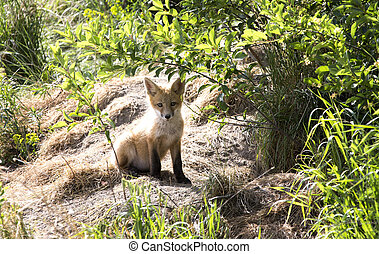 Fox Kit cub standing at den Canada
