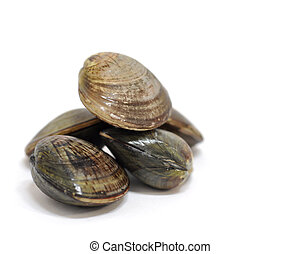 clam shells - fresh clams
