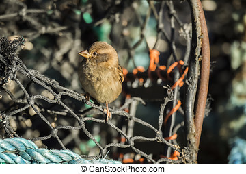 Sparrow, Passer domesticus, perched on a creel - Sparrow,...