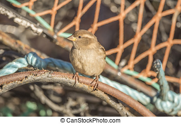 Sparrow, Passer domesticus, perched on a creel at the...