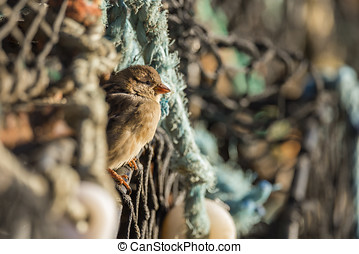 Sparrow, Passer domesticus, perched on creel