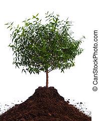 pequeno, verde, árvore
