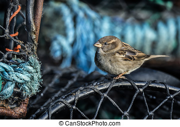 Sparrow, Passer domesticus, perched on a creel