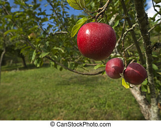 Garden of eden - Three red apples hanging on the tree. Focus...
