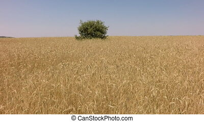 Elevating from wheat field with holm oak in the middle -...