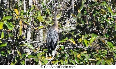 Anhinga bird in the Everglades Florida