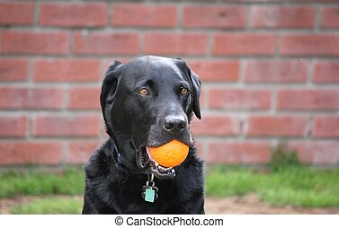 Funny black lab - Black lab holding orange ball