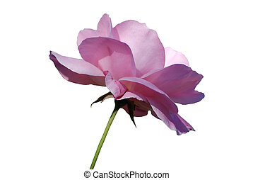 Pink rose isolation - A pink rose isolated on a pure white...