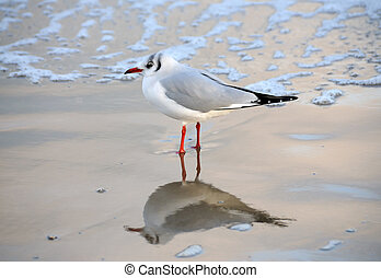 Black Headed Gull - A British black headed gull...