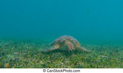 Green Sea Turtle Eating Grass - A green sea turtle makes it...