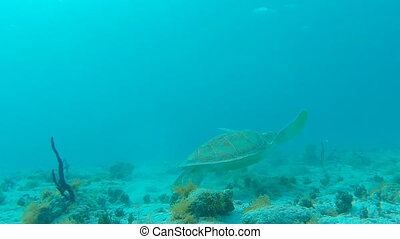 Green Sea Turtle Swims Away - A small green sea turtle turns...