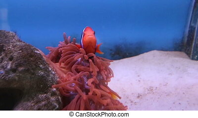 view of red sea fish of strange shape among corals - view of...