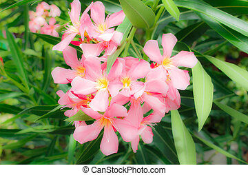 Sweet oleander, Rose bay flower with leave Nerium oleander L...