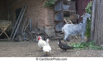 Poultry and Goat in Yard - Ducks, goat, other livestock...
