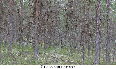 Legendary forest of the nymphs and trolls - Wild forest...