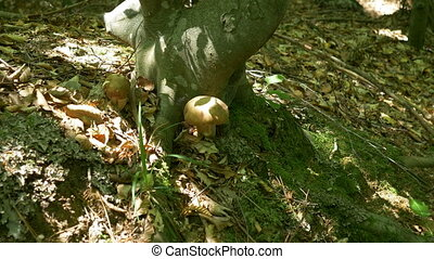 Picking Mushrooms in the Woods - Person is collecting tasty...