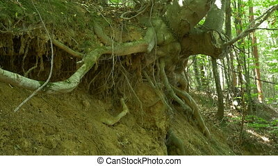 Uprooted Tree in Woods - Longs roots of a tree, exposed by a...