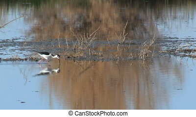 Black-Necked Stilt Walking - Black-necked Stilt walking in...