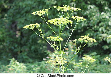 Wild Parsnip Pastinaca sativa - Yellow head and seeds of a...