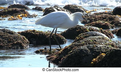 Snowy Egret Eating Fish From Tide Pool