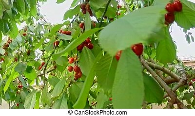 Ripe Cherries Hanging On Tree Branches - Camera is moving...