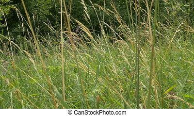Tall Grass on Glade