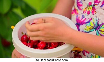 Bucket Full Of Cherries In Girls Hands - This is a closeup...