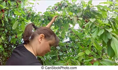 Concentrated Woman Harvesting Cherries In The Garden - SLOW...