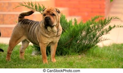 Graceful Shar Pei Wagging Tail At The Lawn - This is a...