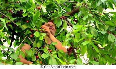 Happy Woman Picking Cherries In The Garden