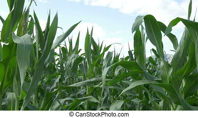 Growing Corn Ear - Close up pan shot of ecological cornfield...