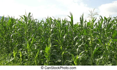 Ecological Cornfield View - Pan shot to an ecological grown...