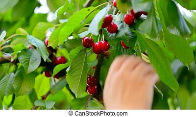 Hand Picking Fresh Delicious Cherry