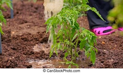 Tomato Seedling Being Watered In Garden