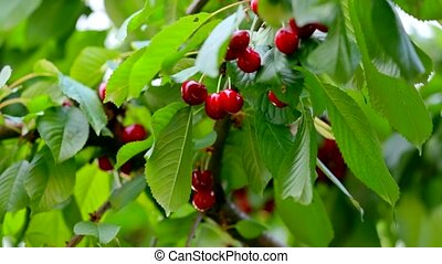 Cherries Hanging On Cherry Tree Branch - Medium shot of a...