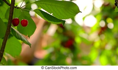 Busy Woman Harvesting Cherries In The Garden