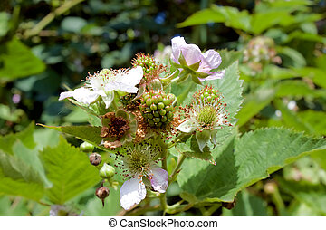 flowering and green BlackBerry - flowering BlackBerry and...
